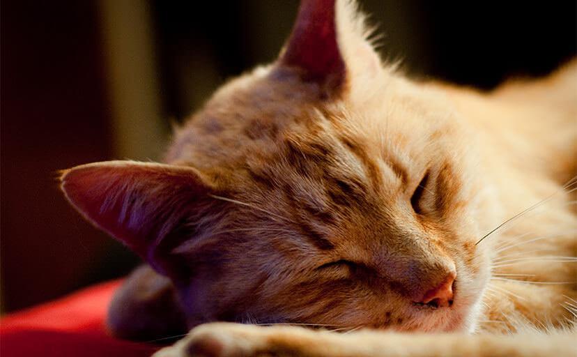 猫の寝顔(フリー写真)