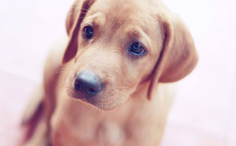 子犬(フリー写真)