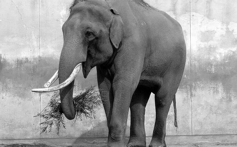 象(フリー写真)