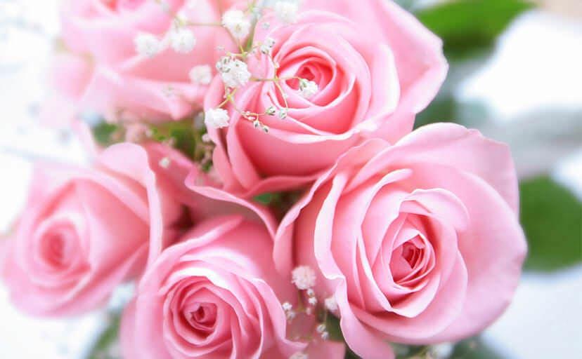 薔薇の花(フリー写真)