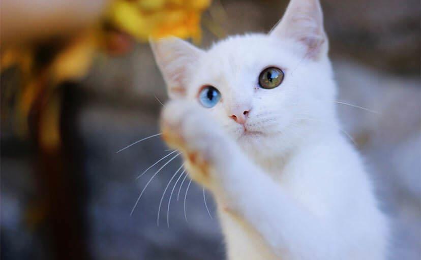玩具にじゃれる白猫(フリー写真)