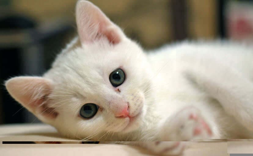 白猫(フリー写真)