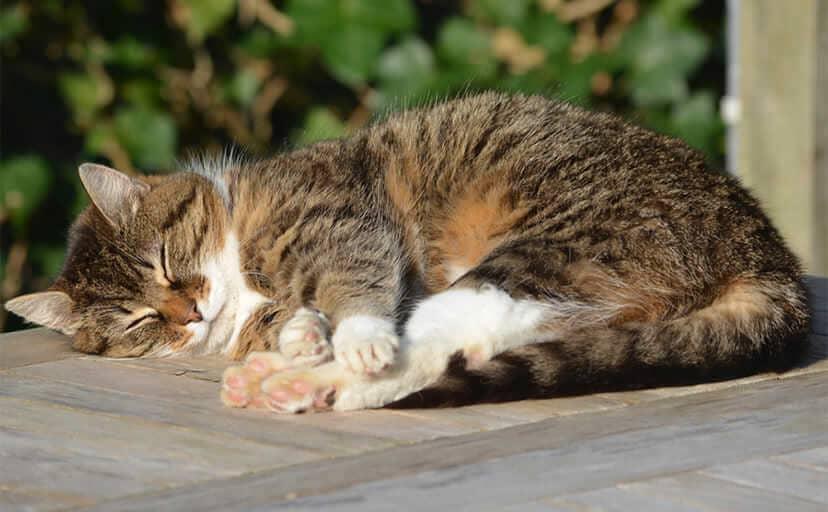 昼寝中の猫(フリー写真)