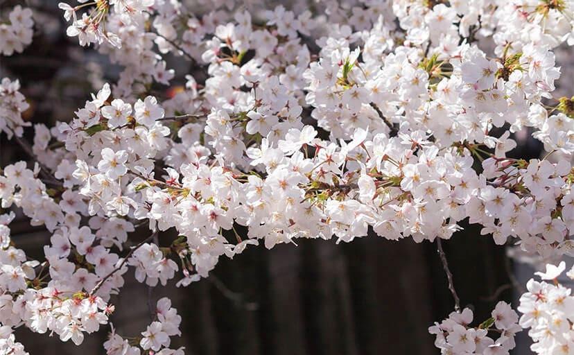 桜の木(フリー写真)