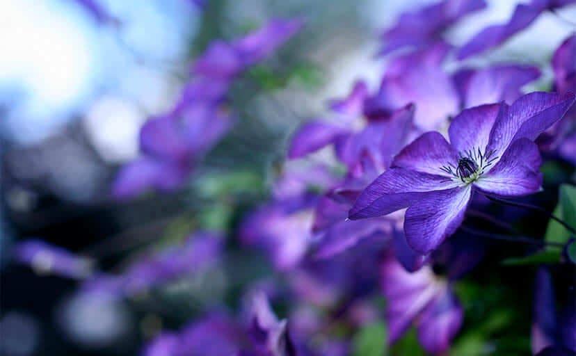 青い花(フリー写真)