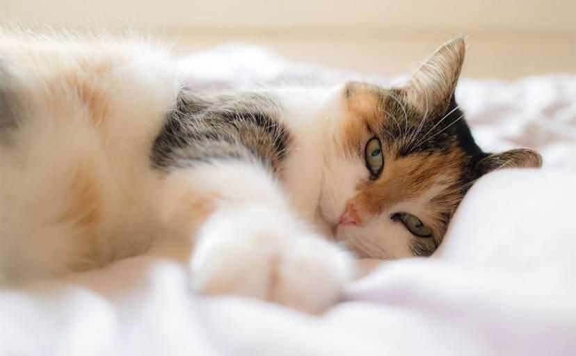 三毛猫(フリー写真)