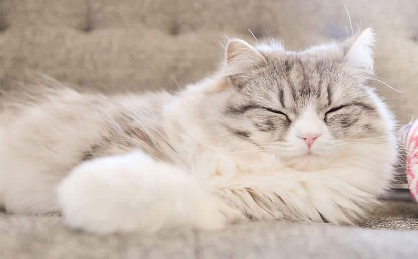 寝ている猫(フリー写真)