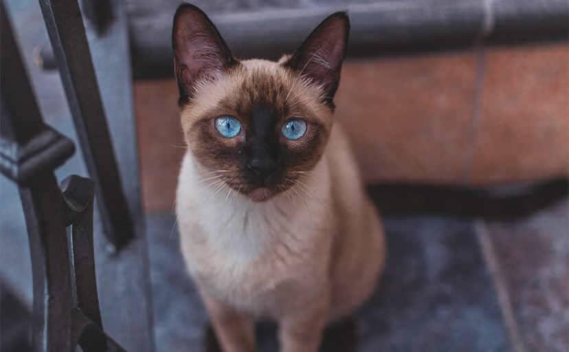 シャム猫(フリー写真)