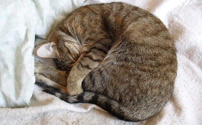 丸まるキジトラ猫(フリー写真)