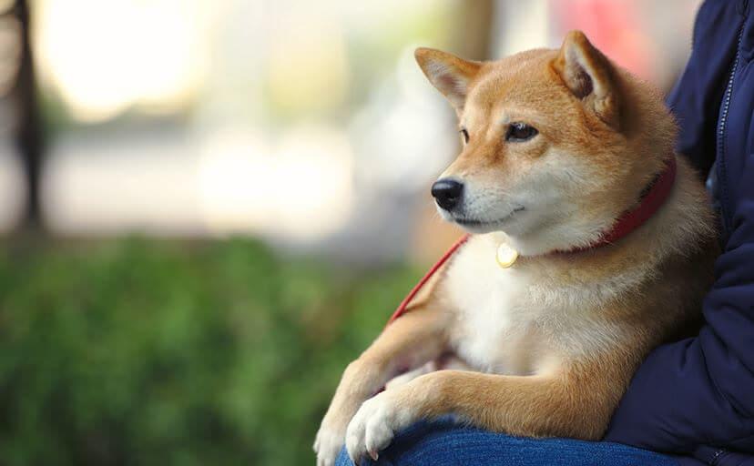 柴犬(フリー写真)