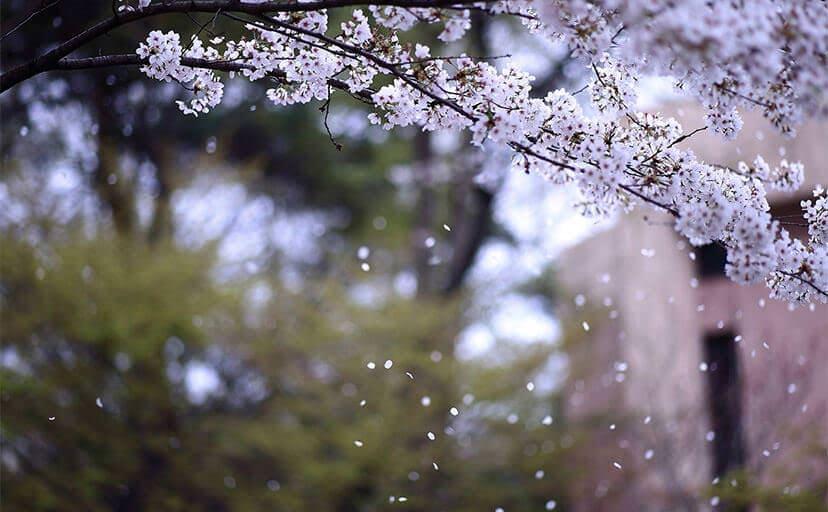 桜吹雪(フリー写真)