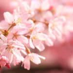桜と最後の嘘
