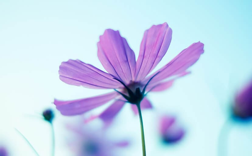 コスモスの花(フリー写真)