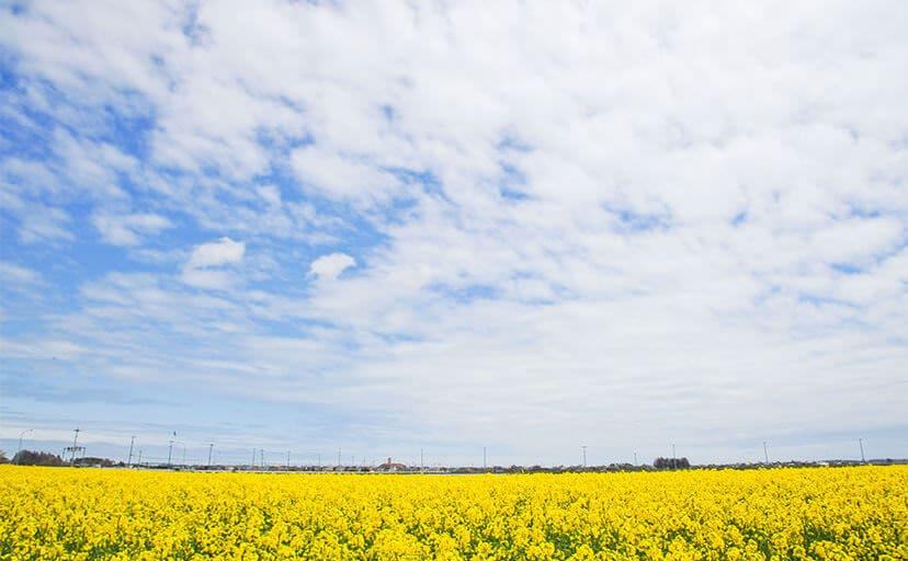 菜の花畑(フリー写真)